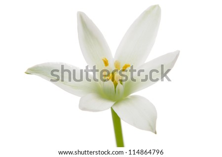 White Grass Lily (Ornithogalum) Flower on White Background - stock photo