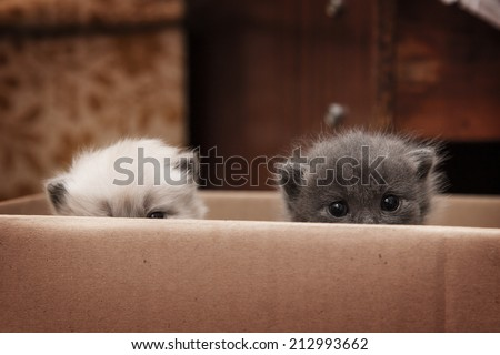 white gray two kittens hiding in a box  - stock photo
