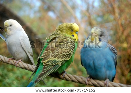 white, green and blue budgerigars resting on a rope - stock photo