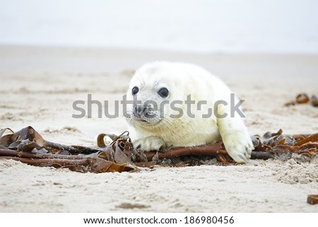 White grey baby seal  looks inquisitively at the beach with big opened eyes - stock photo