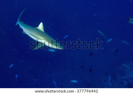 White grey shark jaws close up portrait while looking at you while diving in maldives