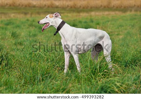 White greyhound dog standind on a green grass