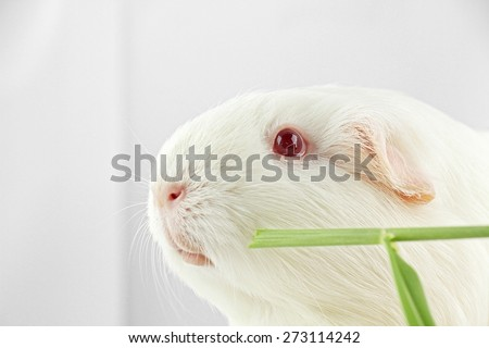 White guinea pig eating fresh grass, White Rat, Laboratory animals. Funny animal. - stock photo