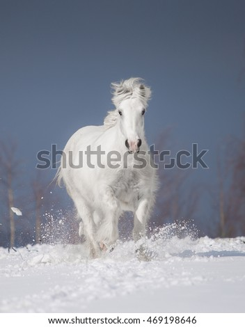 White gypsy horse in snow