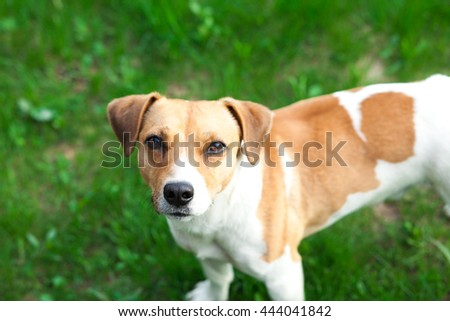 White-haired dog standing on the grass and looking at the camera - stock photo