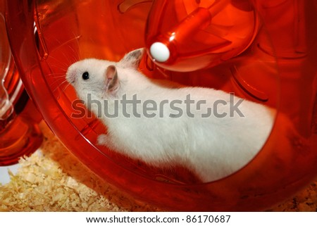 White hamster is running into the wheel - stock photo