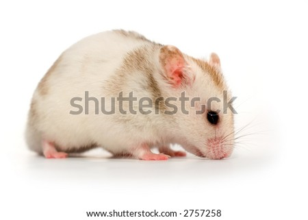 White hamster sniffing on the ground
