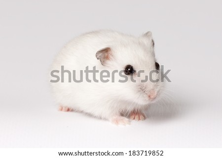 White hamster with pink paws and black eyes - stock photo