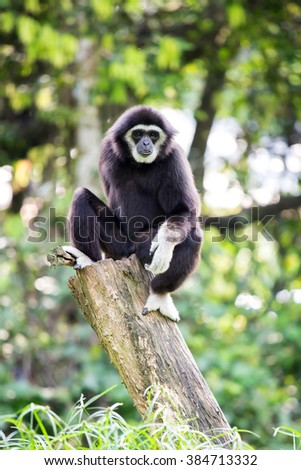 White hand Gibbon on wooden log in malaysia forest - stock photo