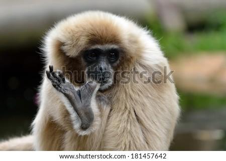 White-handed gibbon also known as Lar gibbon sucks toe. Latin name - Hylobates lar  - stock photo