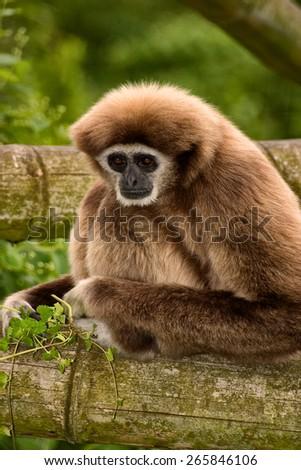white handed Gibbon Ape - stock photo