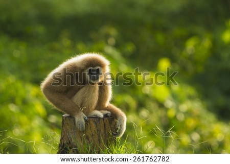 White handed gibbon male looking at camera. - stock photo