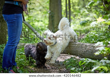 White Havanese dog jumping over a trunk in a green forest