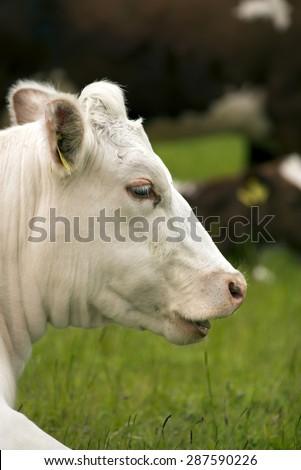 White head of a Danish cow closeup - stock photo