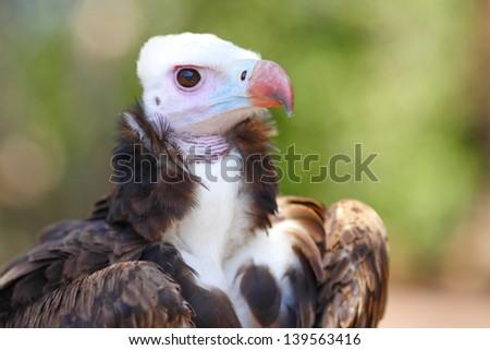 White-headed Vulture close-up portrait - stock photo
