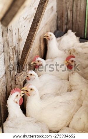 White hens in coop