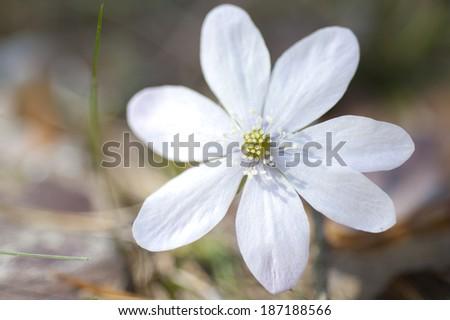 White hepatica nobilis in full blossom - stock photo