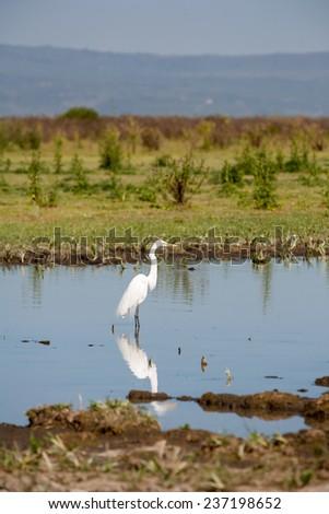 white heron against the blue pond - stock photo