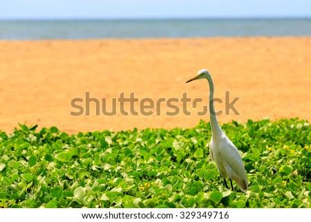White heron bird standing near the beach - stock photo