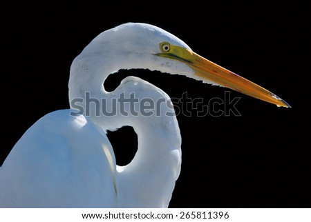 White heron closeup on a black background