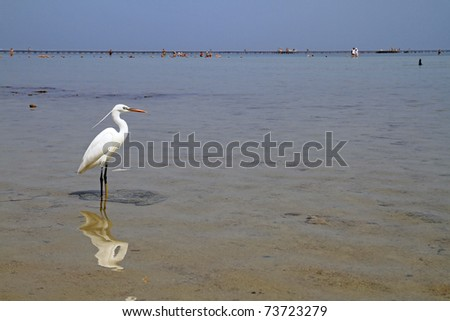 White heron in Red Sea - Egypt
