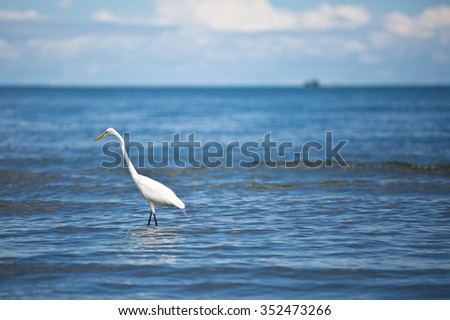 white heron in the caribean