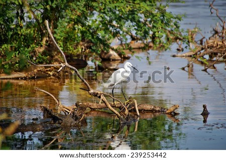 White heron in the water of Lake Victoria in Bugala Island, Ssese Islands, Uganda - stock photo