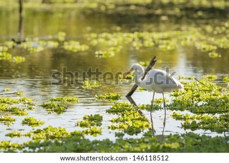 White Heron on a lagoon. - stock photo
