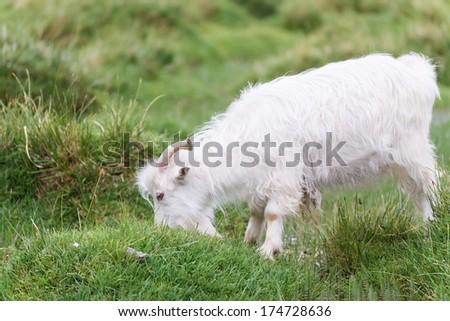 white himalayan pashmina goat - stock photo
