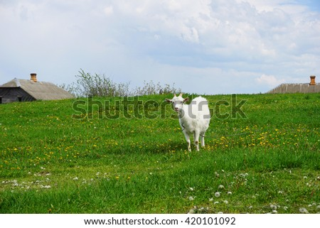 White home goat grazing in a meadow