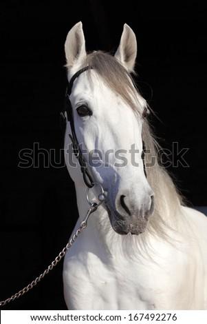 White horse against the black background - stock photo