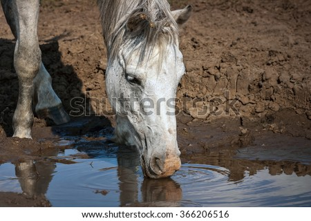 white horse drinks water from a puddle during droughts - stock photo