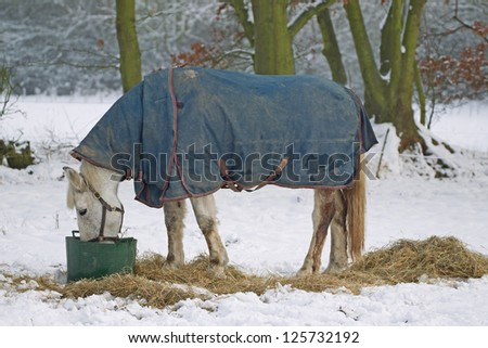 White horse feeding in a snow covered paddock, seen against a frame of trees - stock photo