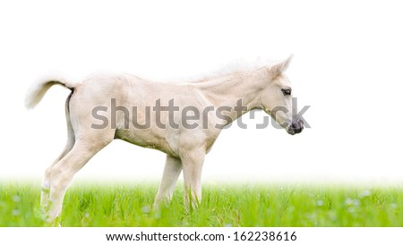 White horse foal walking in green grass on white background
