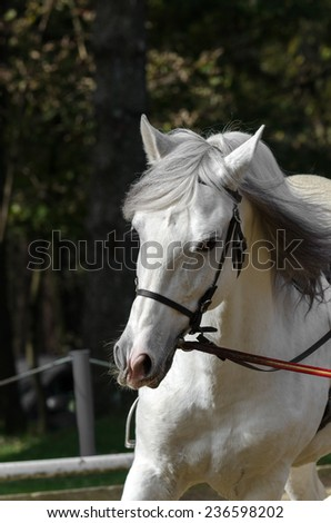 white horse galloping in a riding school - stock photo