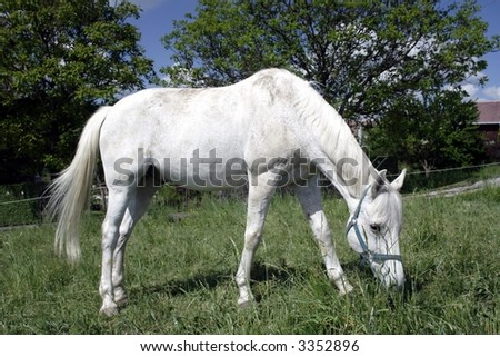 white horse grazing - stock photo