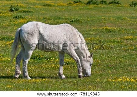White horse grazing in a meadow with yellow buttercups. - stock photo