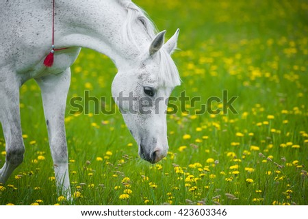 white horse grazing in dandelion field in may - stock photo