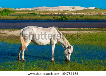 White horse grazing in the flooded meadow - stock photo