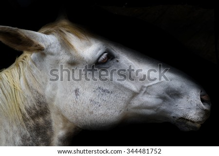 White Horse Head Isolated on black