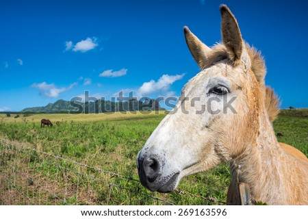 White horse in forefront with Kalalea Mountain also known as Kong Mountain in the background on Kauai, Hawaii