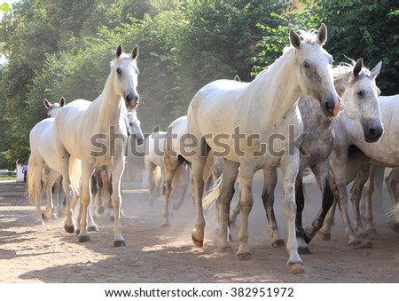 White horse. Kladruby, Czech. - stock photo