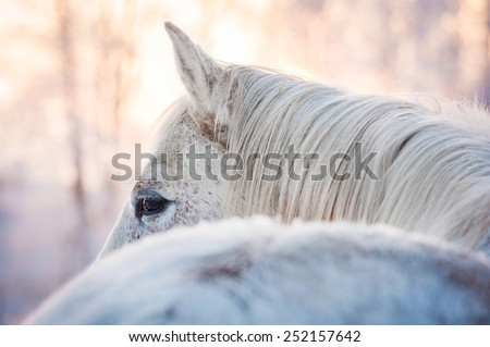 White horse looking back in winter  - stock photo