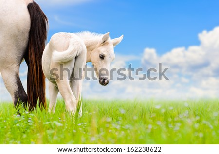 White horse mare and foal looking with suspicion on blue sky background  - stock photo
