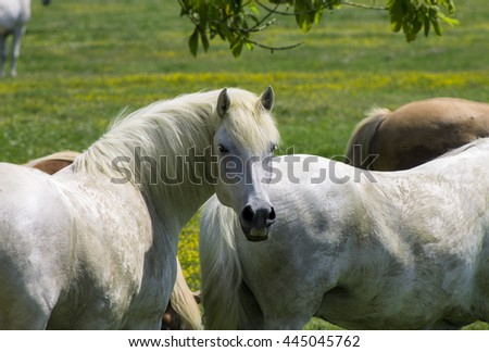 white horse on a flowering a field, farm, close-up - stock photo