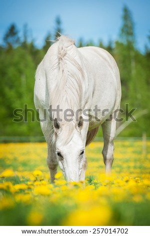 White horse on the pasture with a lot of dandelions - stock photo