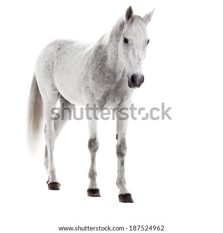 White horse on white background. Shooting in the studio
