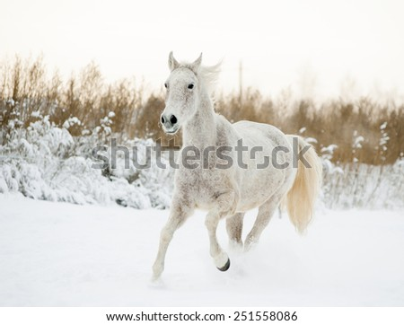 White horse portrait in motion in winter - stock photo