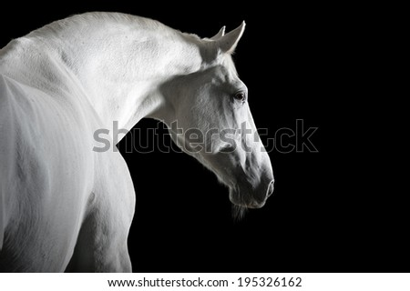 white horse portrait in the darkness  - stock photo