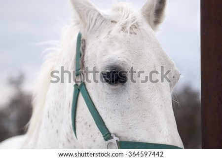 white horse portrait on winter background. close-up - stock photo